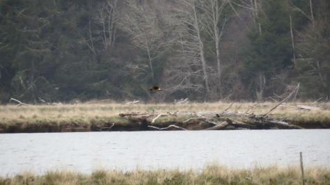 Hawk flying over Alsea Bay