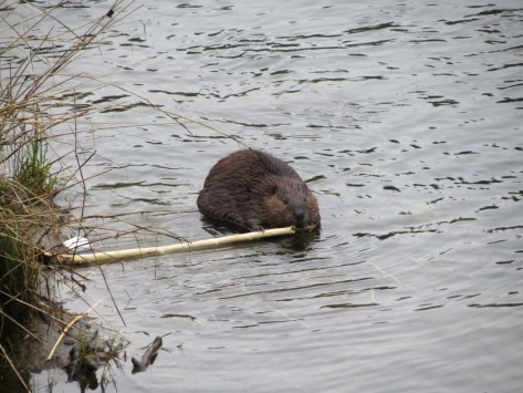 beaver eating bark