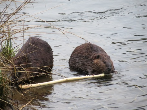 Lady and the Tramp - Oregon-beaver-style