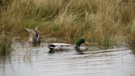 Mallards at Eckman Lake