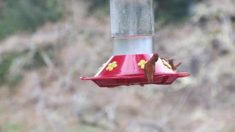 Nosey Hummingbird