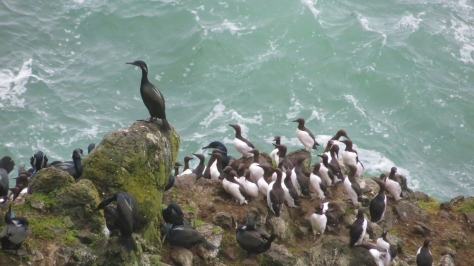 Brandt's Cormorant with Common Murre