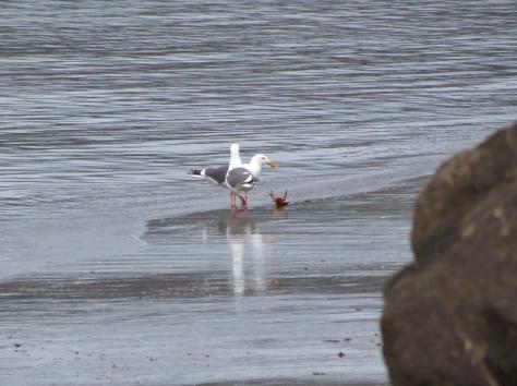 Seagulls Corner a Crab