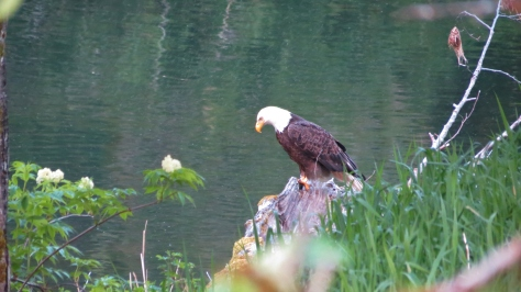 Bald Eagle on Alsea River