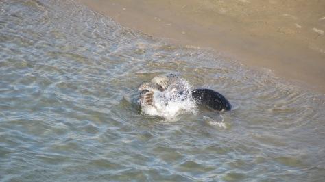 Harbor Seals Rolling in Water