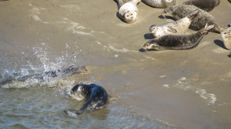 Harbor Seals Darting