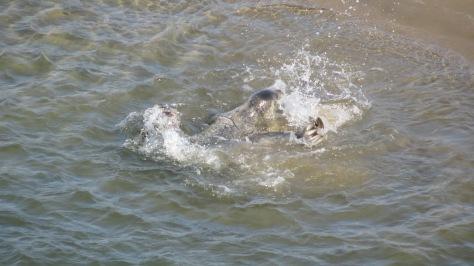 Harbor Seals - pre-pupping season