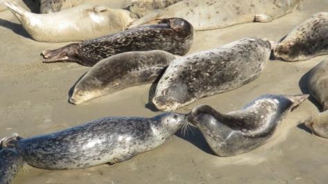 Kissing Harbor Seals