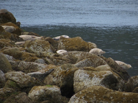 Harbor Seals on South Jetty