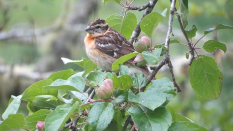 Female Blackheaded Grosbeak