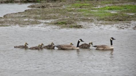 Collared Canada Goose