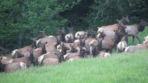 47 Roosevelt Elk