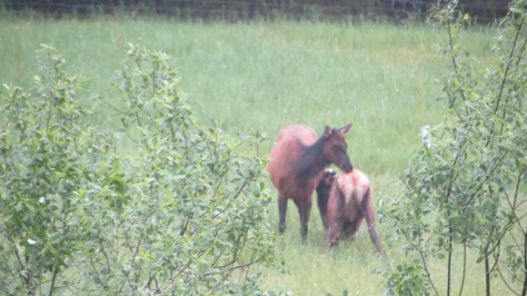Yearling Elk Nursing