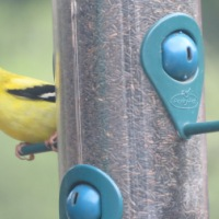 Goldfinches Found the Feeder