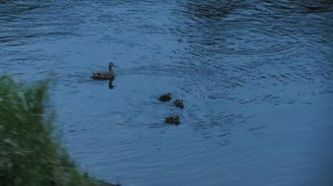 Mallard Hen with 3 Ducklings