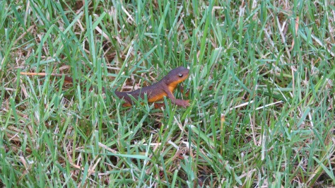 Orange-bellied Newt