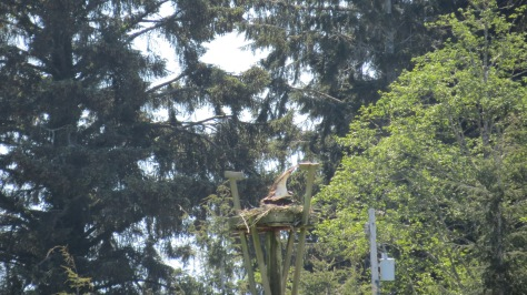 Osprey Nest at Waldport High School