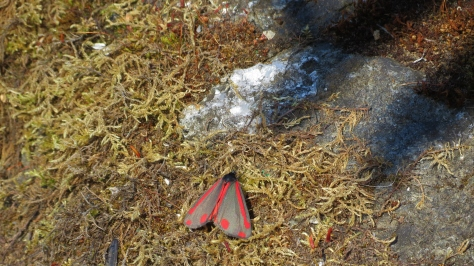 Red and Gray Moth