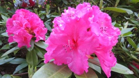 Dark Pink Rhody