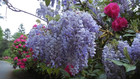 Wisteria in the Pink Rhodies