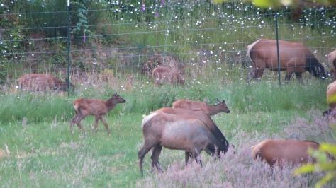 roosevelt elk twin calves