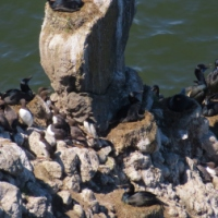 Nesting Shorebirds - Oregon