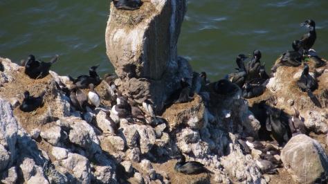 Brandt's Cormorants and Common Murres Nesting