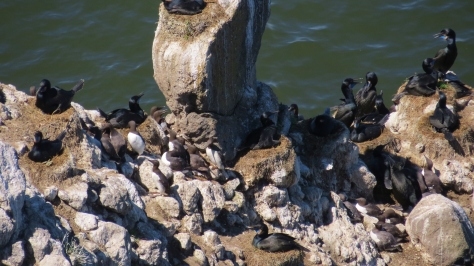 Brandt's Cormorants and Common Murres Nesting