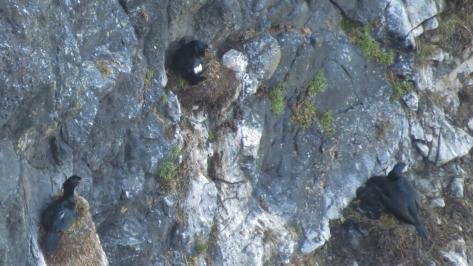 Brandt's Cormorant Chicks