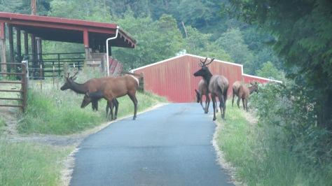 Roosevelt Elk Crossing