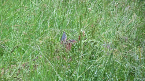 elk calf hiding in grass