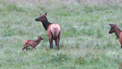 Roosevelt Elk with Calf