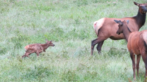 Elk calf with spots