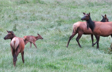 elk calf with adults and yearling