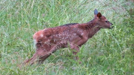elk calf closeup