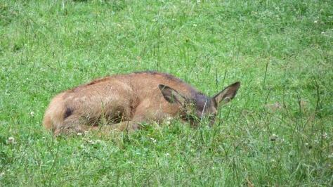 elk calf crouching