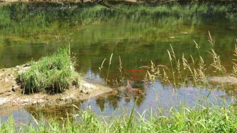 schooling fish at low tide in Alsea River