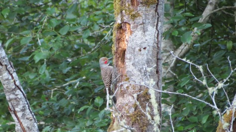 Male Flicker with Red Moustache