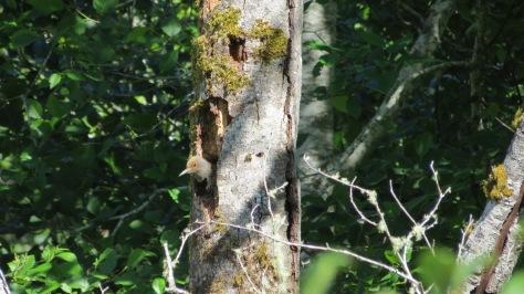 Flicker Nest