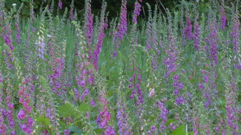Field of Foxglove