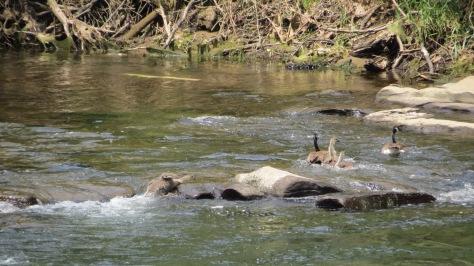 geese follow dad