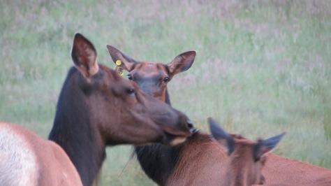 A-3 Tagged Roosevelt Elk