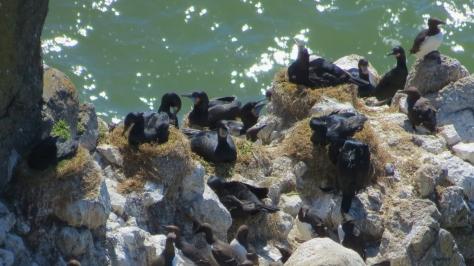 Nesting Brandt's Cormorants