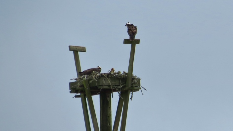 At least one Osprey chick - Waldport, Oregon