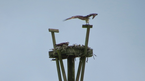Waldport High School Osprey Nest