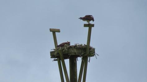 osprey parents - Waldport, Oregon