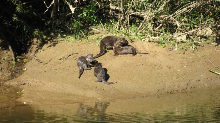 Otters playing and drying their fur