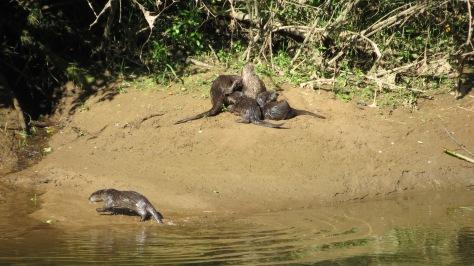 Otter kit sneakin' a drink