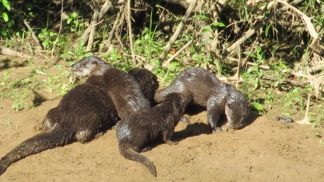 otter mom with kits