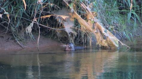 River Otter - Alsea River